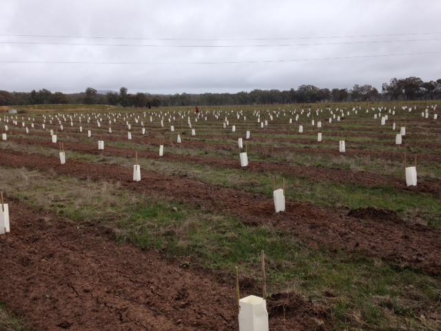A sea of new plantings - the makings of a Woodland Bird habitat.