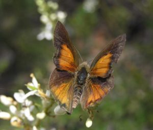 Adding your data to the VBA contributes to informed decisions about land management and conservation of threatened species like Eltham Copper Butterfly (photo by Elaine Bayes)